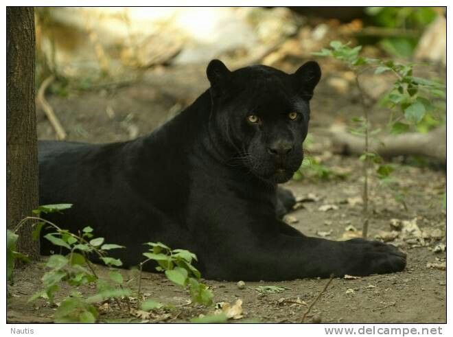 Panther Awesome Pinterest Animal