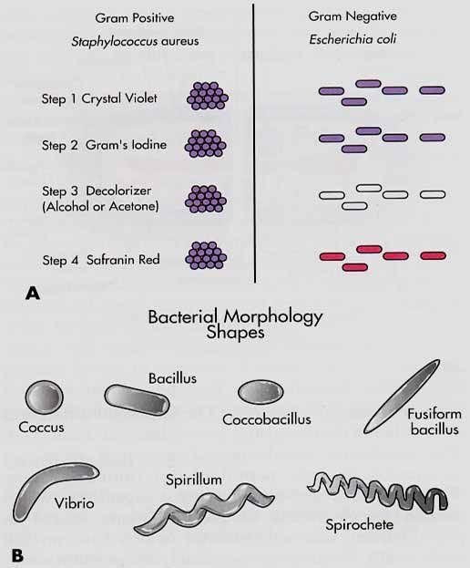 Bacterial Morphology | Microbiology | Pinterest ...
