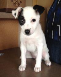Adopt Zoey On Jack Russell Jack Russell Terrier Australian Terrier