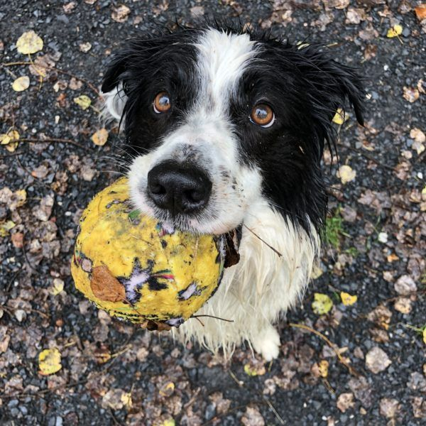 How To Teach A Dog To Fetch Instead Of Keepaway Dogs Dog