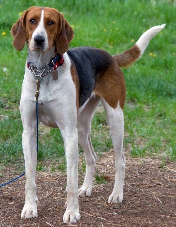 Beautiful American English Foxhound Puppy Dog Hound Dogs