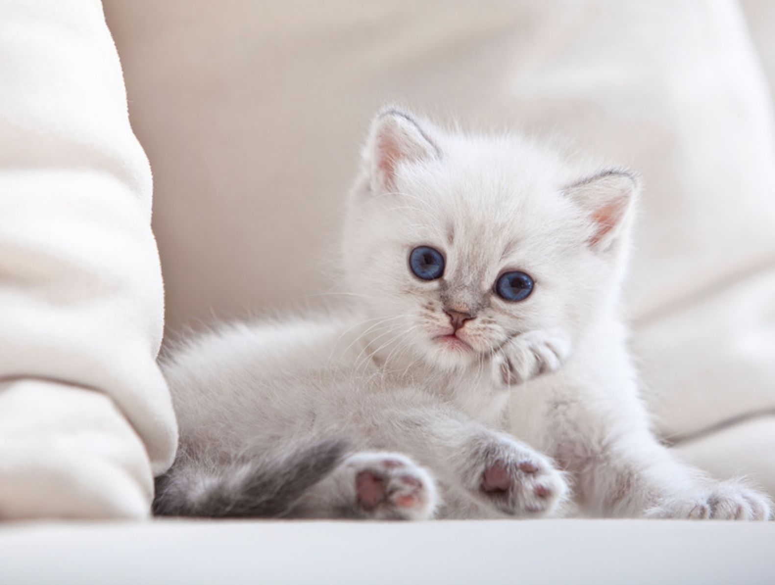 44 Super Cute White Kitten Enjoy Cute Fluffy Kittens Kittens Funny Kittens Cutest