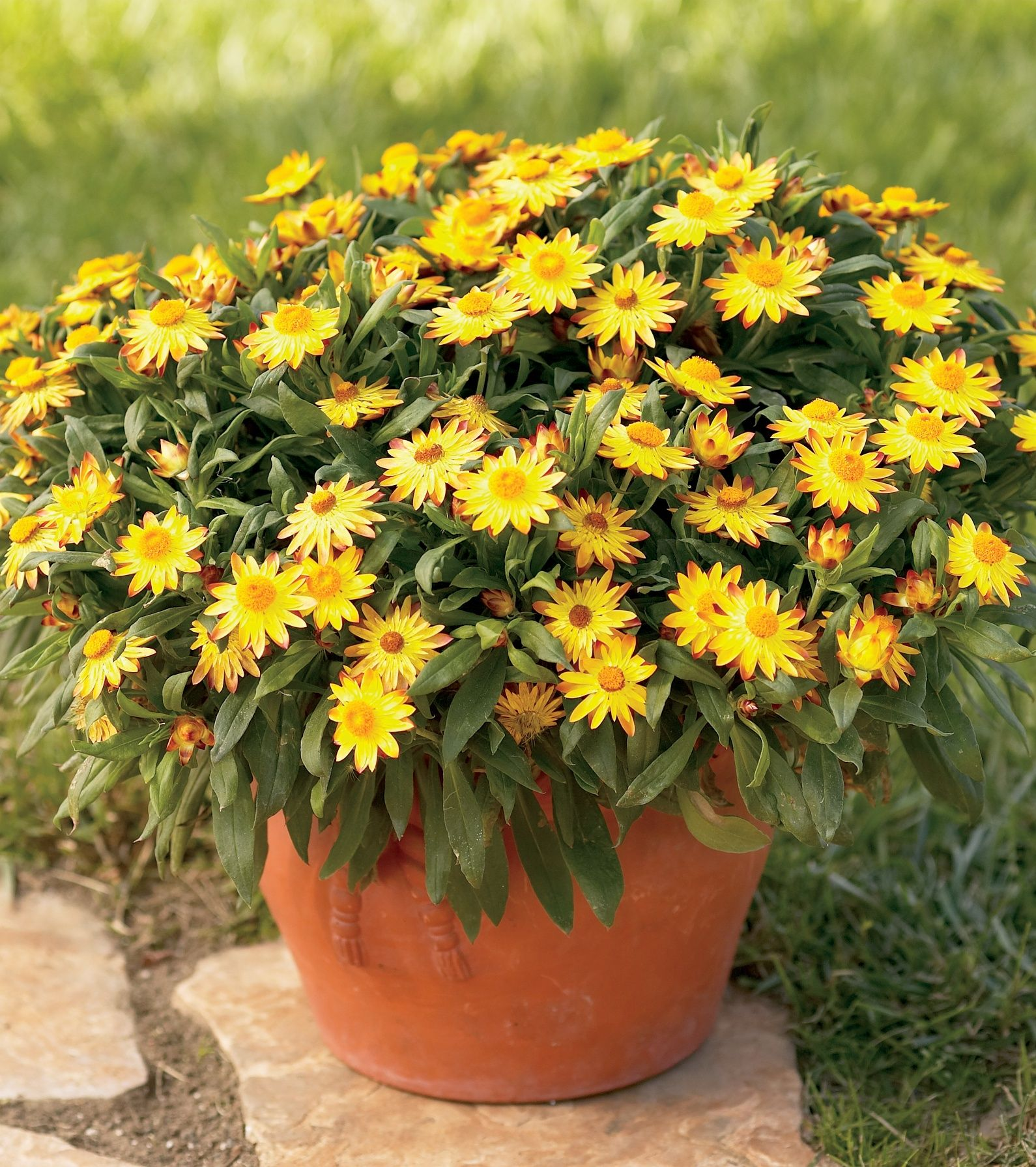 Sundaze Golden Beauty Is One Tough Plant Very Heat Tolerant With