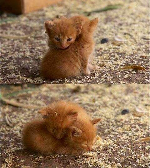Ginger baby kittens