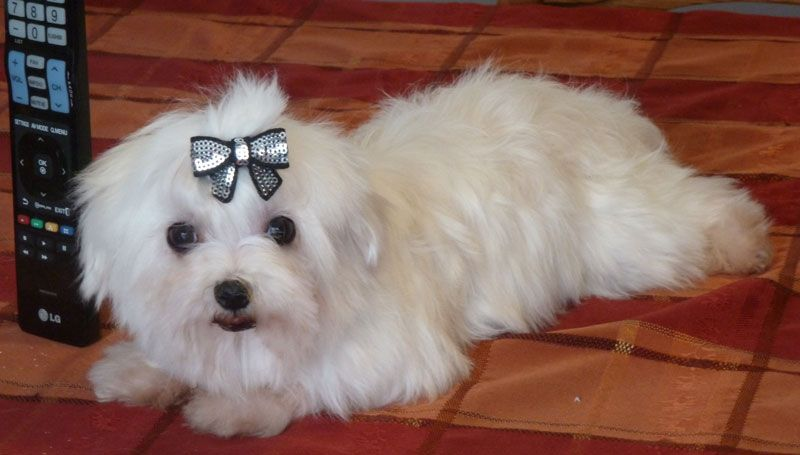 Maltese Breeder From Lachicpatte Com Maltese Puppies For Sale