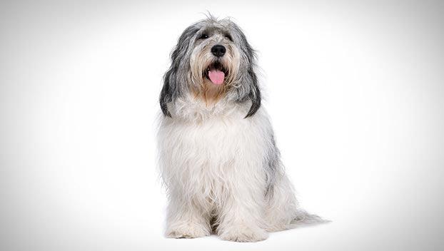 Polish Lowland Sheepdog Dog Breed Selector Polish Lowland Sheepdog Dog Breed Selector Dog Breeds