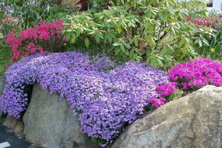 phlox pflanzen steingarten-gestalten-anregung-bilder-idee Pflanzen
