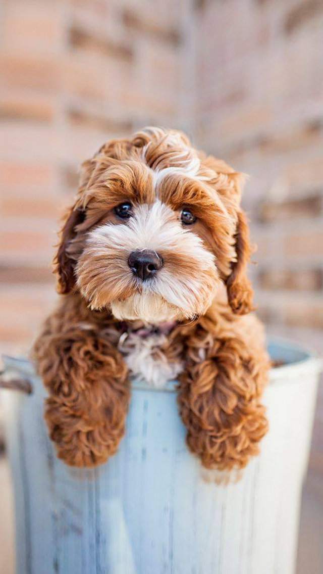Teacup puppy dog. Cute Puppies Wallpapers for iPhone