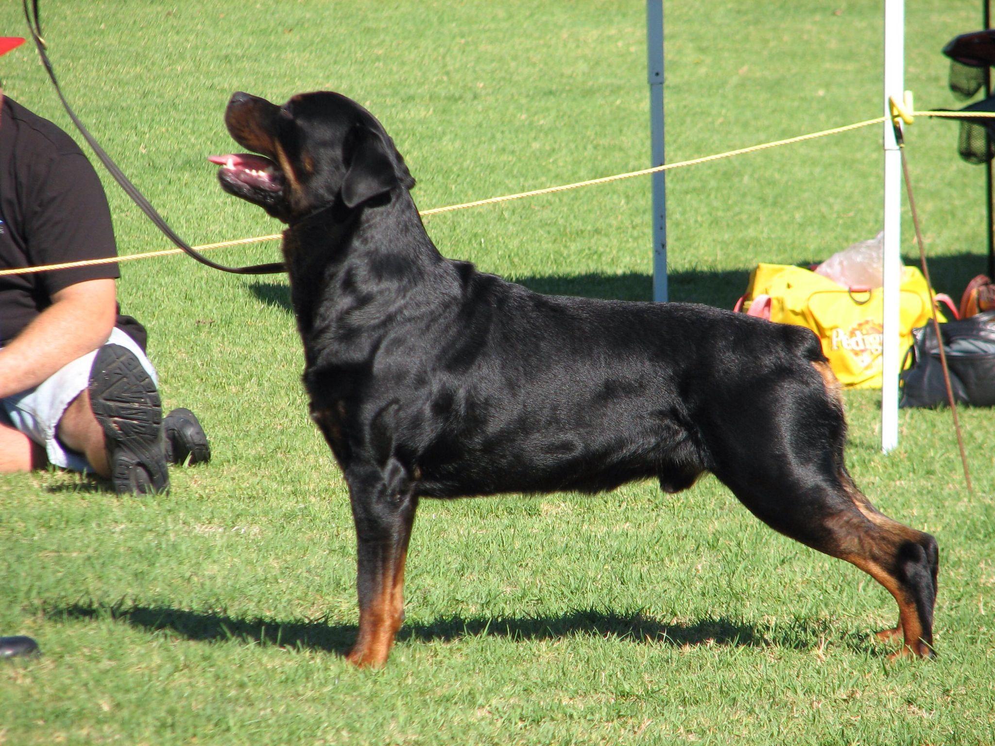 Rottweiler New Zealand Champion Hardrada Magic Man Our Best