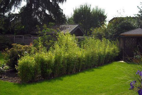 Bambus 'Jumbo' Fargesia murielae 'Jumbo' Bepflanzung