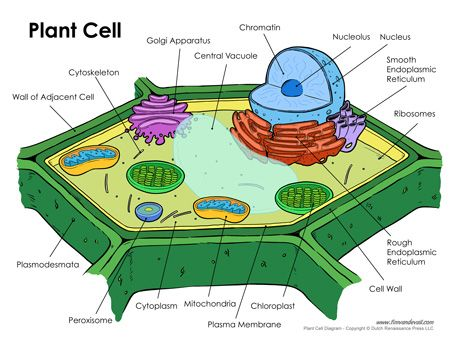 Plant Cell Diagram Science Printables Pinterest Plant Cell And