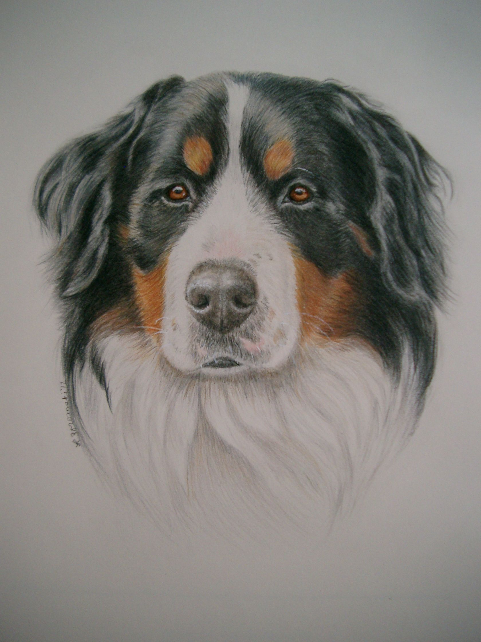 Bernese Mountain Dog Done In Watercolor Colored Pencil