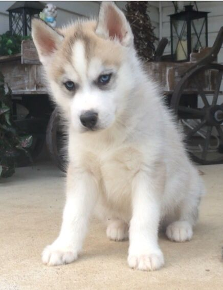 Siberian Husky Puppy For Sale In Beaver Oh Adn 28766 On