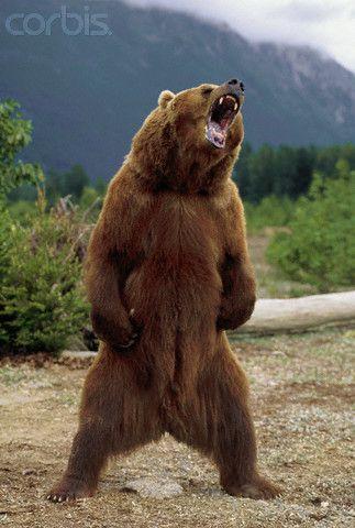 growling brown bear in chilkat valley alaska she kills