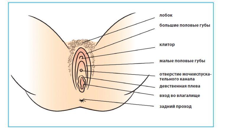 жіночі статеві органи - Поиск в Google