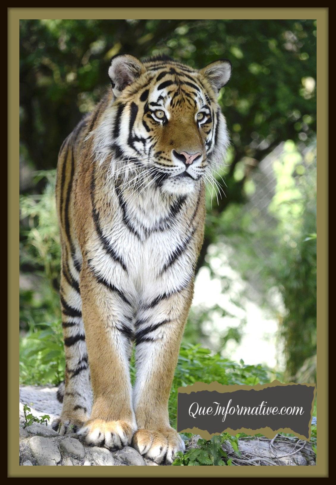 Beautiful Creatures Queinformative In 2020 Pet Tiger Big Cats Wild Animal Wallpaper