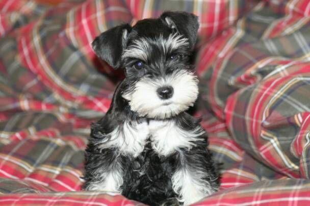 Schnauzers For You Chesterfield Va Schnauzer Puppy Mini Schnauzer Schnauzer Dogs