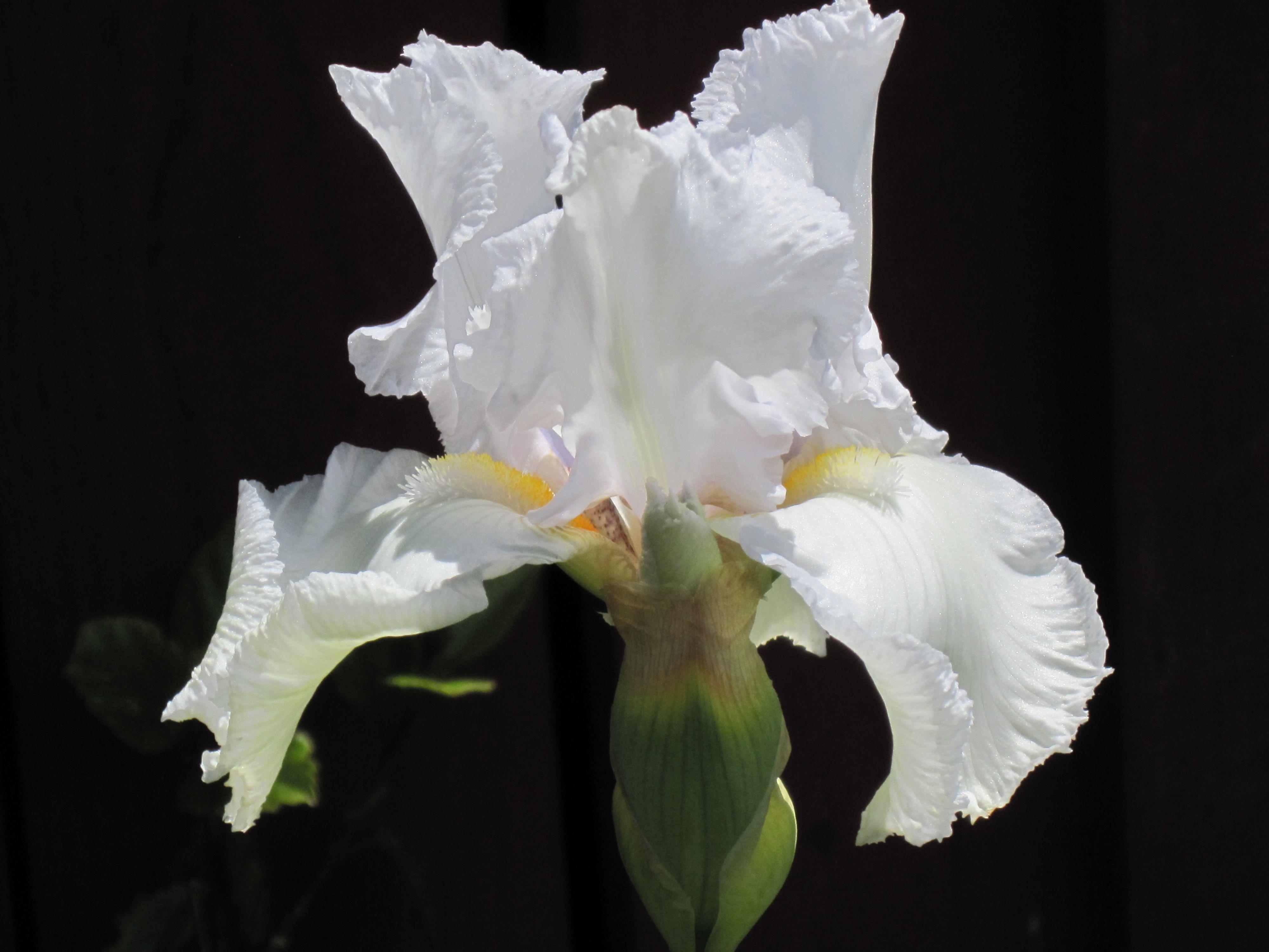 My white iris exterior home decor with flowers roses irises my white iris izmirmasajfo