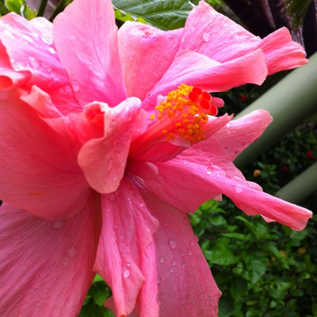 Pink hibiscus #mexico