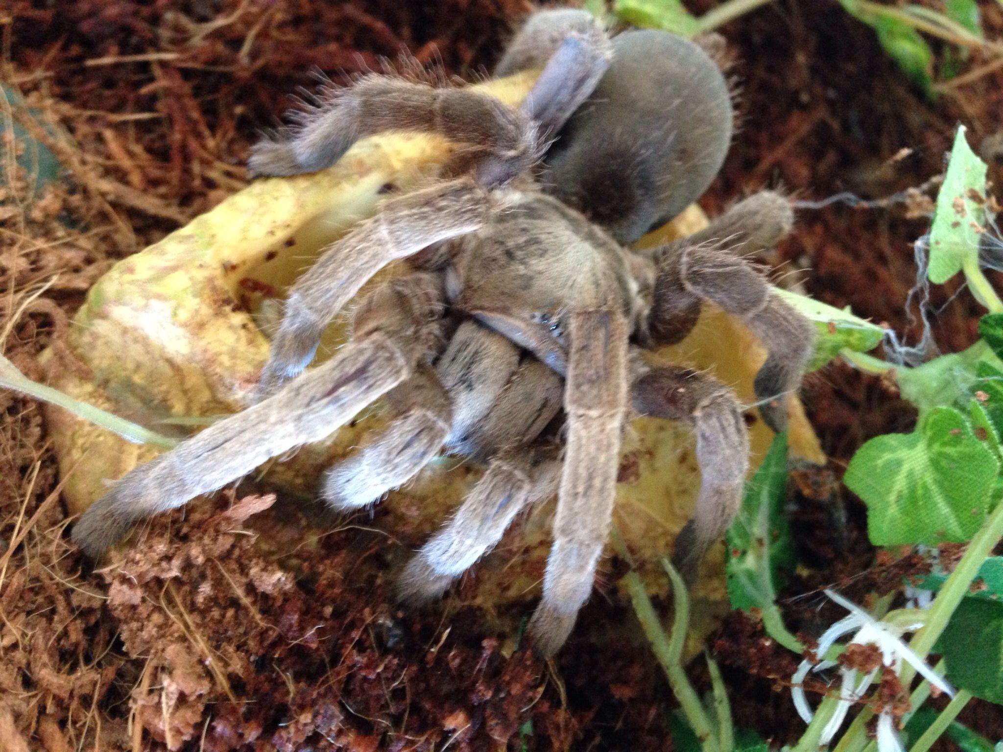 Selenotypus Tarantula Spider Spider, Tarantula, Arachnids