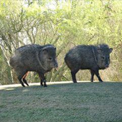 havalina | Animals, Desert plants, Animals of the world