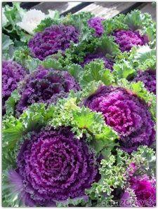 All Hail The Kale Brassica Oleracea Chidori Red A Garden Beauty