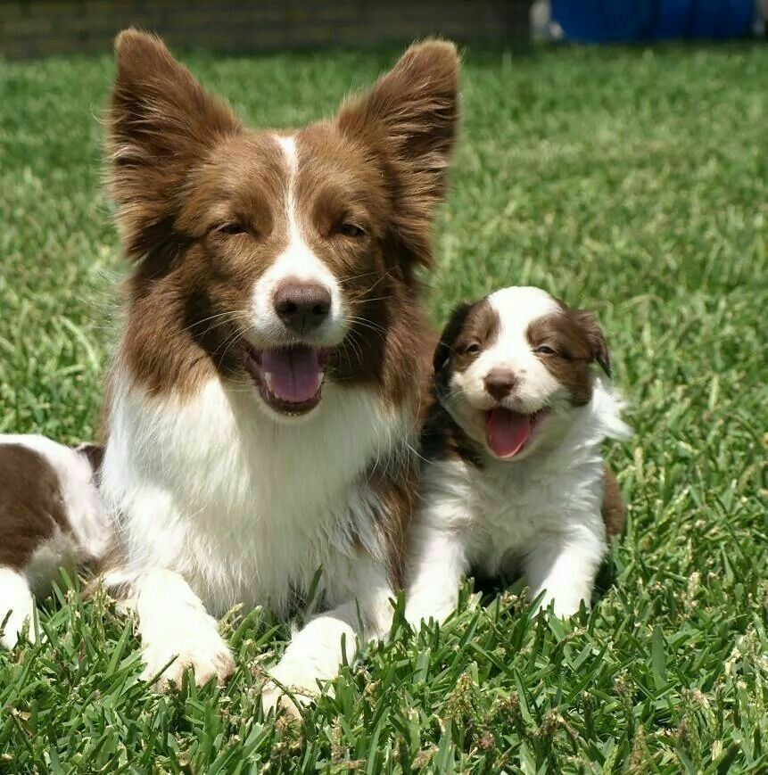 Border Collie Mom And Pup Collie Puppies Red Border Collie Collie Dog