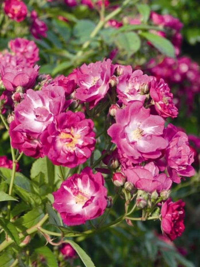 Die neuen ADR-Rosen 2013 Pinterest Perennials