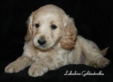 Quality Breeder Of Goldendoodle Puppies Serving Ny Nj Conn And Mass Goldendoodle Goldendoodle Puppy English Goldendoodle