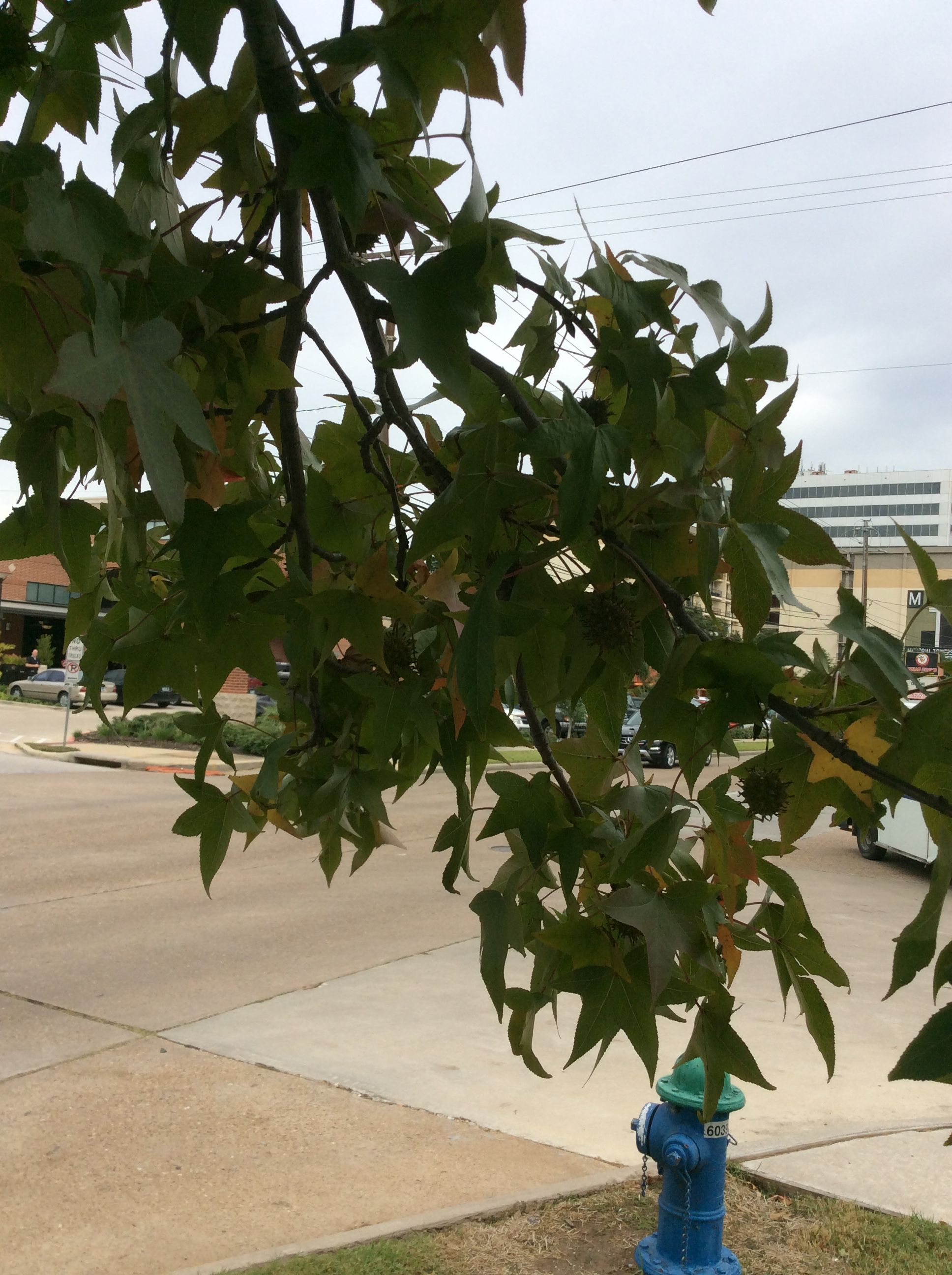 Sweet Gum Leaf Canopy With Images Sweet Gum Plants Canopy