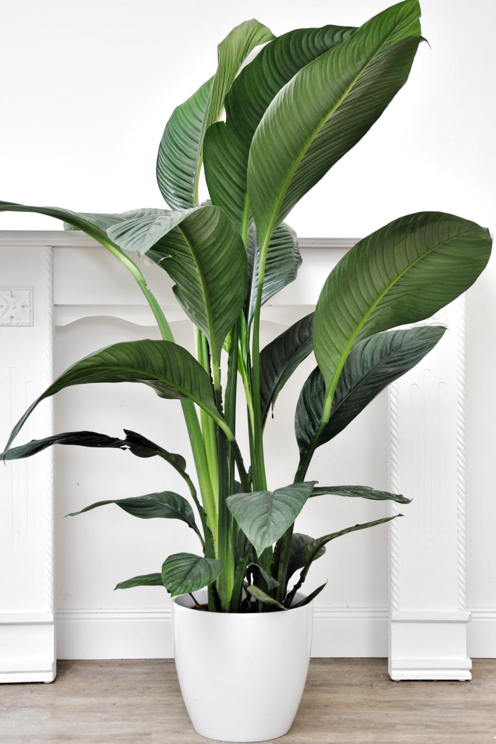 Friedenslilie (Blattfahne) Sensation | Zimmerpflanzen | Themenwelt | Der  Palmenmann | Wohnzimmer pflanzen, Pflanzen zimmer, Blattfahne