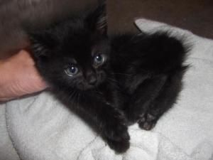 Cami Is An Adoptable Domestic Short Hair Black Cat In Carroll Ia Cami Is A 5 Week Old Kitten To Be Vetted At 8 Week Cats Beautiful Blue Eyes Short Hair Black