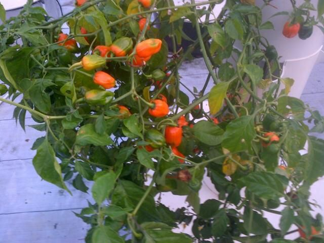 Habanero peppers growing on the small-scale hydroponic