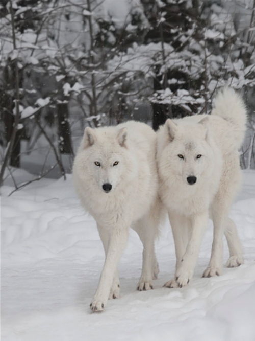 Beautiful wolves from Animals | Tumblr
