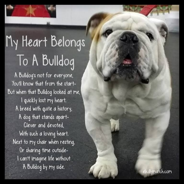 My Heart Belongs To A Bulldog A Bulldog S Not For Everyone You Ll