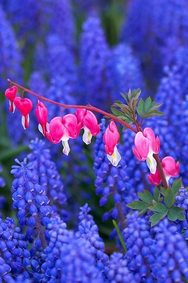 Bleeding Hearts And Lupins Cvety Griby