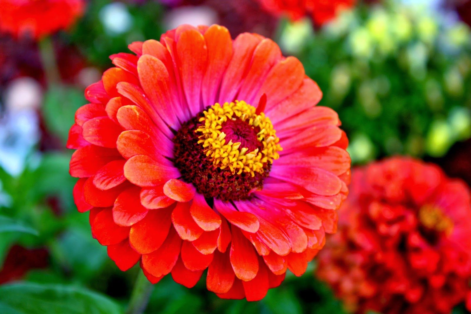 Zinnia Flowers Type Of Flowers Thats Clever Pinterest