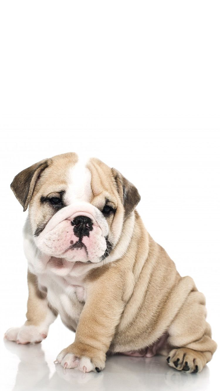 Cute Bulldog Wallpaper...