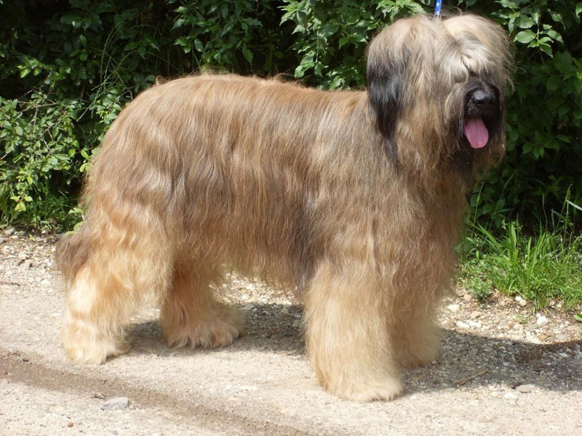 briard dog photo Pleun Briard dog breed free wallpaper