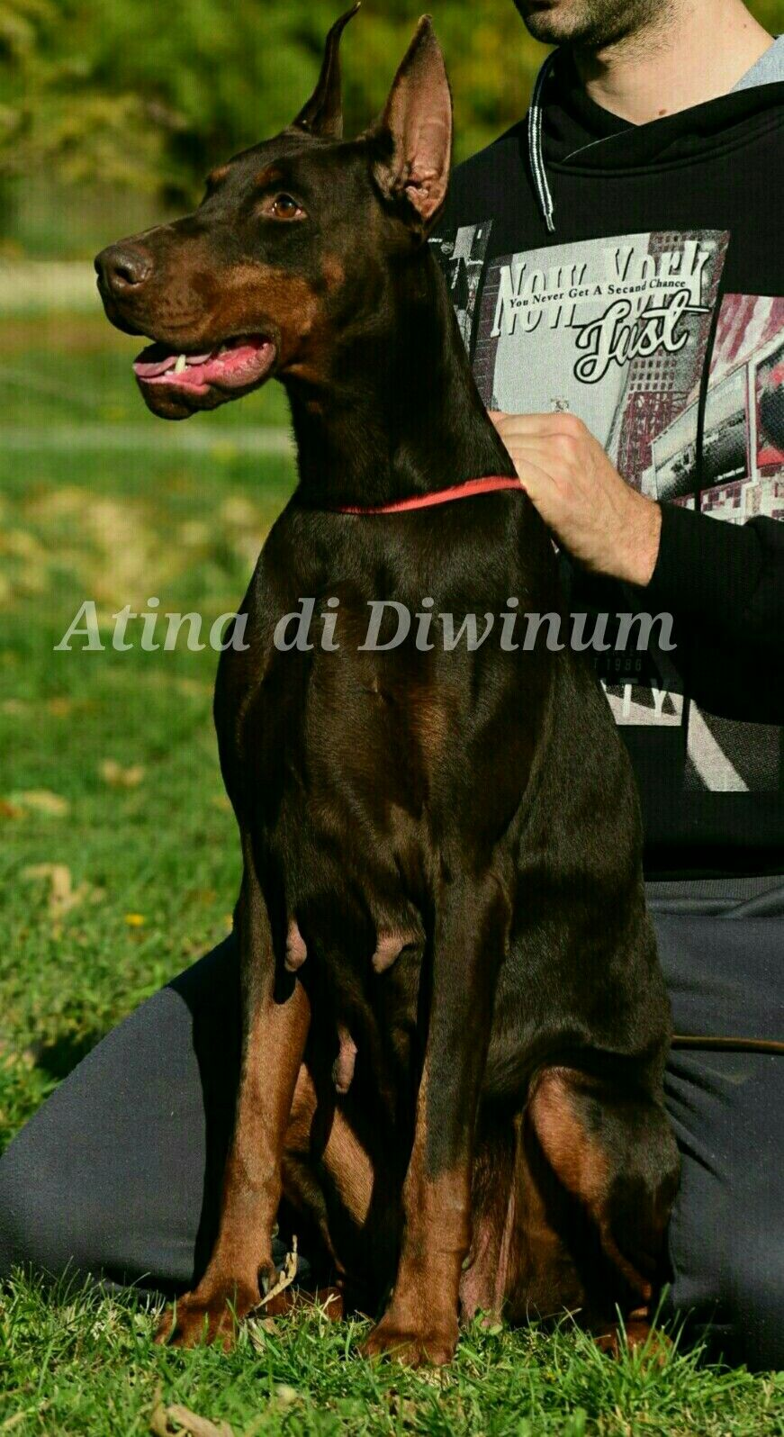 Brown Dobermann Dogs Character Fictional Characters