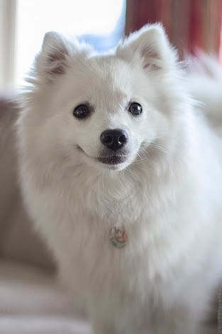 Image Result For Babe Japanese Spitz Pics For The Love Of Eskies