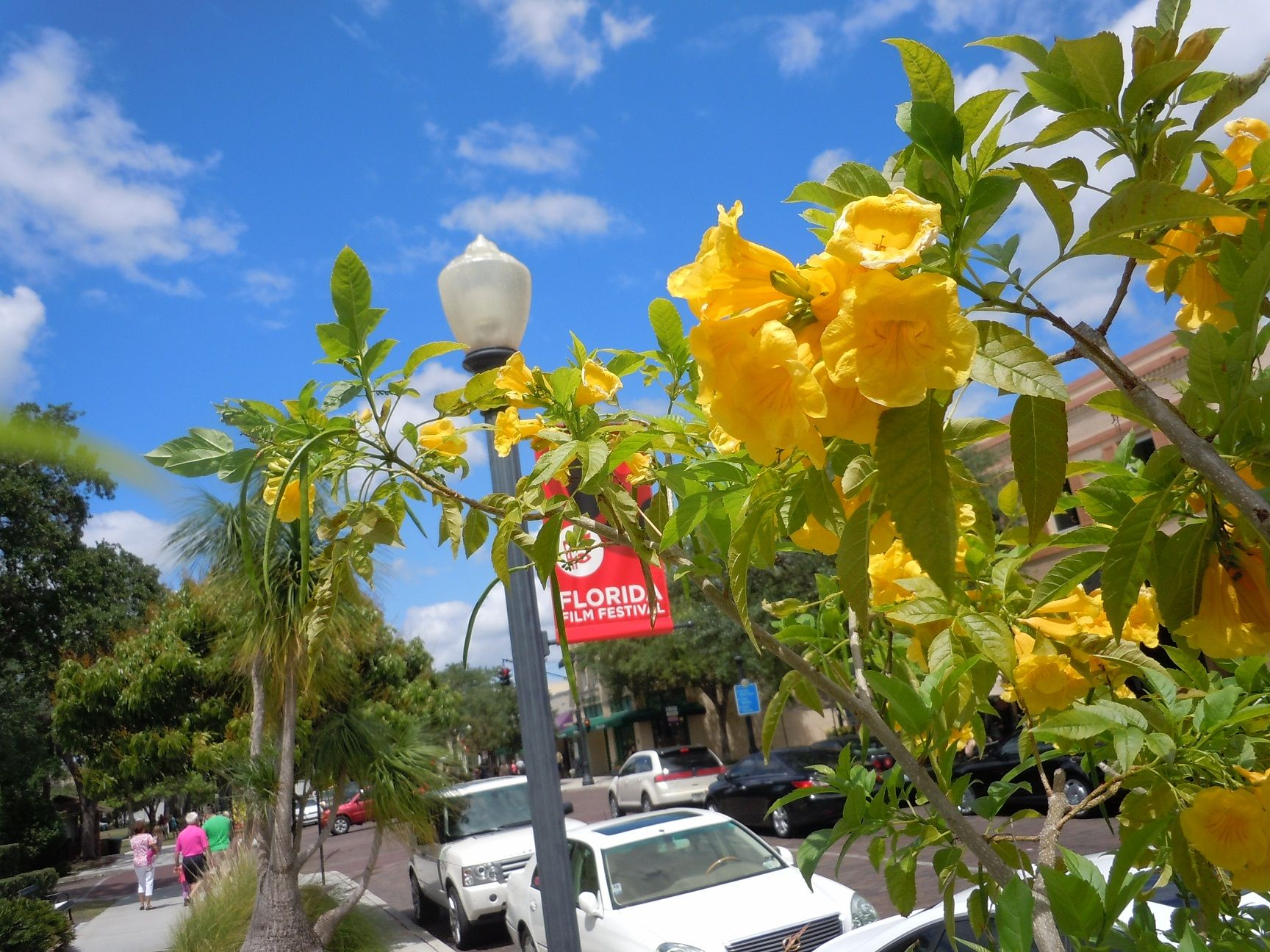 Blooming Yellow Tabebuia Tree Along Park Avenue In Winter Park
