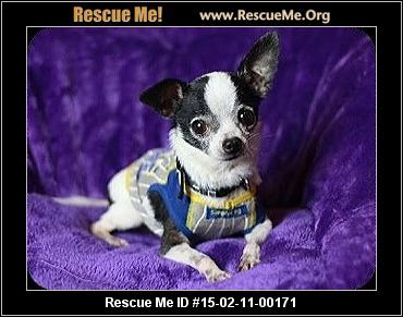 Tennessee Chihuahua Rescue Adoptions Rescueme Org Chihuahua