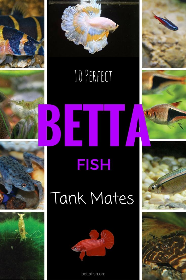 Best 25 betta fish tank mates ideas on pinterest betta for Betta fish care guide
