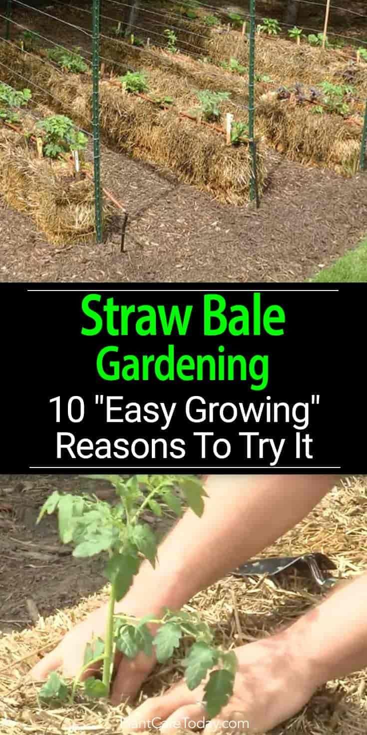 Straw Bale Gardening An Alternative Growing Method Using Baled Straw Hay Or Alfalfa Add Straw Bale Gardening Organic Gardening Tips Organic Vegetable Garden