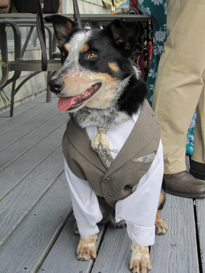 Blue heeler in tux. custom wedding suit for a dog, dog in tuxedo ...