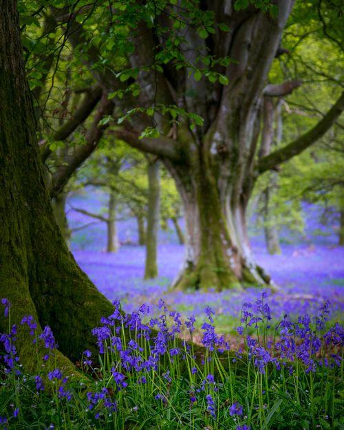 Perthshire Bluebells 2014