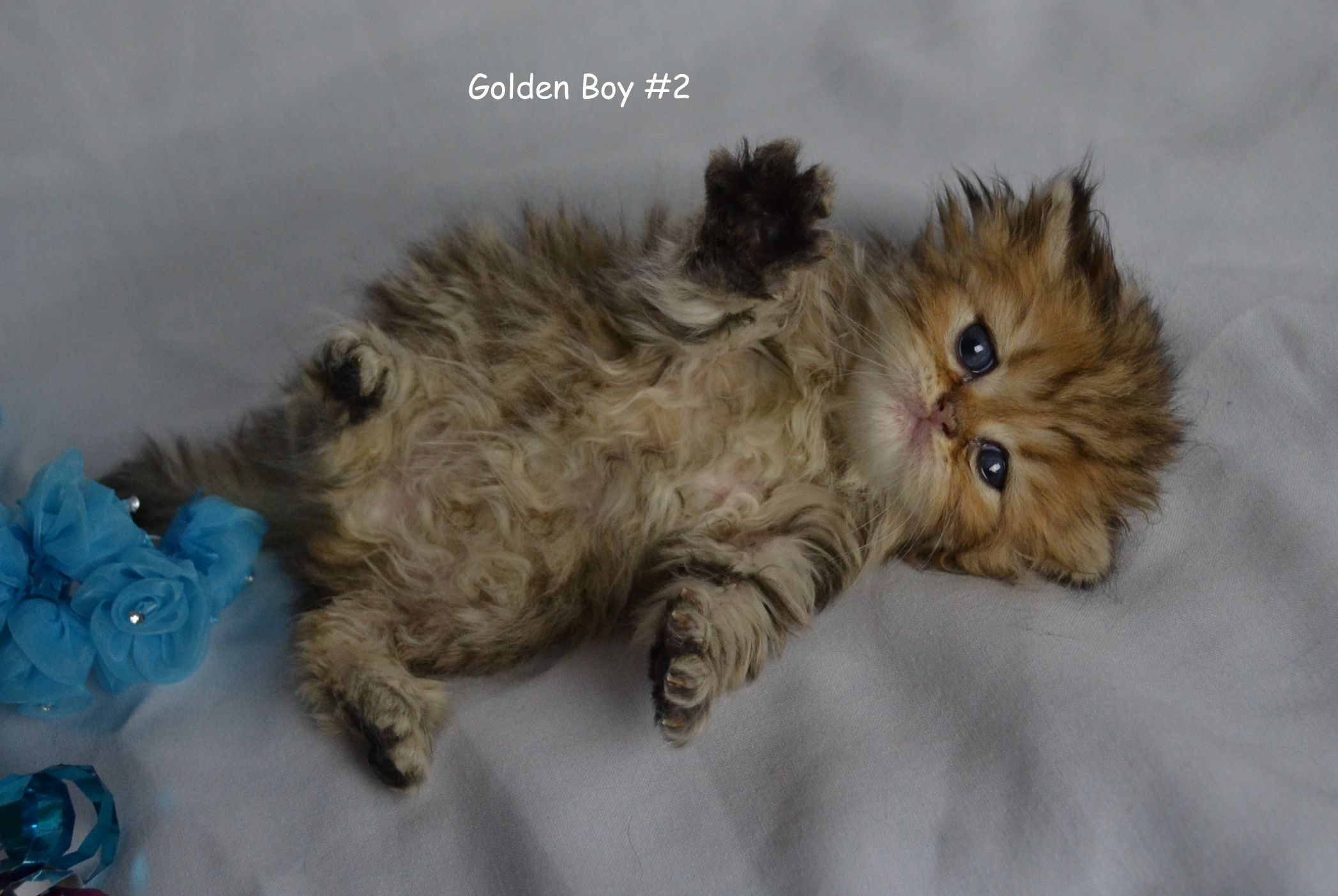 Persian Cat Doll Face Dollface Persian Kitten Baby Persians Tea Cup Persian Kittens For Sale Pe Persian Kittens Teacup Persian Kittens Persian Cat Doll Face