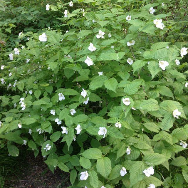 Rhodotypos scandens plantas jardin japones pinterest garden - Plantas jardin japones ...