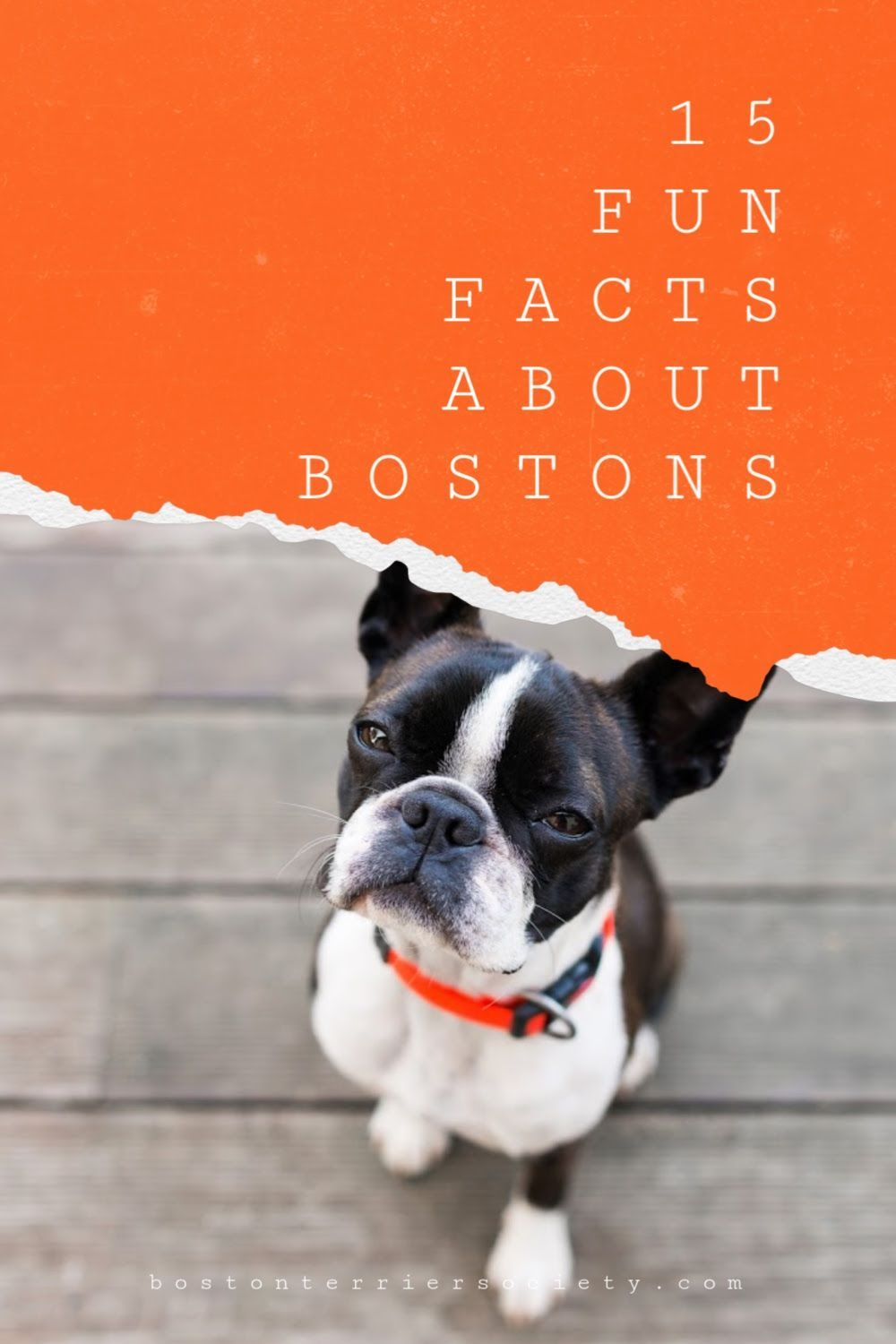 15 Interesting Facts About Boston Terriers Boston Terrier Society In 2020 Boston Terrier Red Boston Terriers Terrier